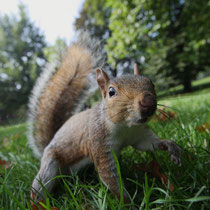 Ecureuil dans Londres