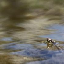 Couleuvre vipérine (Sud de la France)