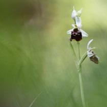 Ophrys fuciflora (Haute-savoie)