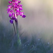 Orchis mâle (Lapanouse de Cernon)
