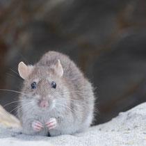 Rat (Bord de mer , Sud de la France)
