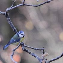 Mésange bleue (Haute-savoie)