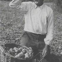 Albert America in 1953 bij het aardappel rooien