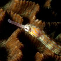 Messmate Pipefish - Gelbgebänderte Seenadel  - Corythoichthys haematopterus