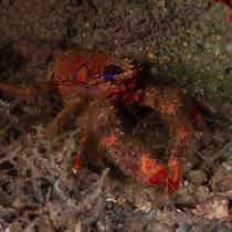 Galathea strigosa - Blaustreifen-Springkrebs