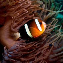 Yellowtail Clownfish - Clarks Anemonenfisch -  Amphiprion clarkii