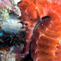 Spiny Seahorse - Stacheliges Seepferdchen - Hippocampus histrix