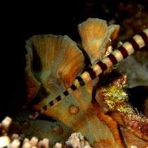 Banded Pipefish - Gebänderte Seenadel - Dunckerocampus dactyliophorus