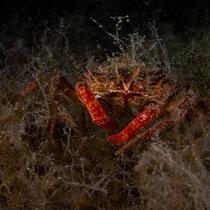 Maja squinado - Große Seespinne