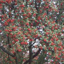 Maulbeer Baum.