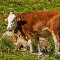 Fröhliche Kühe sieht man hier überall
