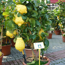 Mega-Limonen in einem Gartencenter.