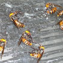 スズメバチ捕獲粘着シート