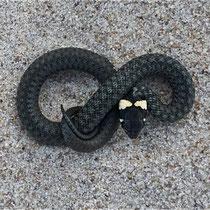 Ringelnatter im Sand - Foto: Michael Wohl-Iffland