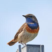 Blaukehlchen, Vogelstation Wedeler Marsch - Foto: Pertti Raunto