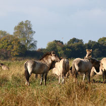 Koniks Wildpfered, Geltinger Birk - Foto: Ma´rion Breese