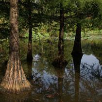Sumpfzypressen, Arboretum - Foto: Willi Heinsohn