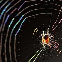 Spinne im Morgenlicht - Foto: Michael Wohl-Iffland