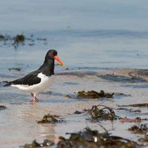 Austernfischer - Der Charaktervogel der Nordsee - Foto: Janine Brauneis