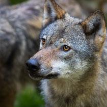 Wolf - Foto: Holger Tobuschat