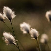 25 Wollgras - Foto: Gesche Andresen