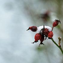 Hagebutte im Schnee - Foto: Borg Enders