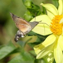 Taubenschwänzchen, nektarsuchend - Foto: Elvira Lütt