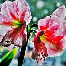 Amaryllis - Foto: Lothar Boje