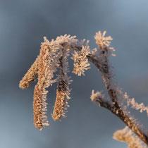 Frostnadeln   -   Foto:   Uta Svensson