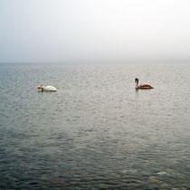 Schwäne im Nebel, Falkensteiner Strand - Foto: Borg Enders