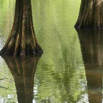 Sumpfzypressen-Die Füße im Wasser, Arboretum - Foto: Gesine Schwerdtfeger