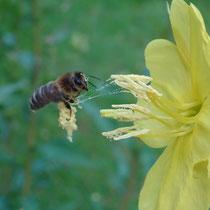 18. Platz 170 Pkt. Biene sammelt Pollen von Nachtkerze - Foto Gesine Schwerdtfeger
