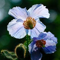 17 Blauer Mohn - Foto: Romana Thurz