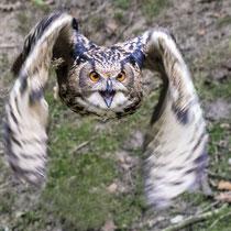 3. Platz 150 Pkt. - Fliegender Uhu - Foto: Adolf Dobslaff