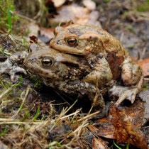 22 Doppeldecker Erdkröten - Willi Heinsohn