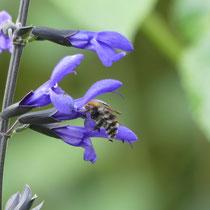 Salbeiblüte zu eng für Seidenbiene, Arboretum - Foto: Gesine Schwerdtfeger