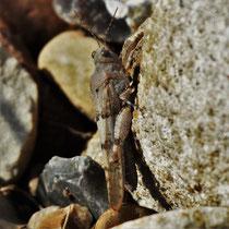 Ödlandschrecke - Foto: Lothar Boje