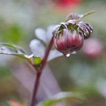 Wassertropfen an einer Dahlienknospe, Arboretum - Foto: Pertti Raunto
