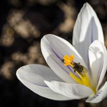 Frühlingsbote - Foto: Holger Tobuschat