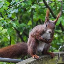 Eichhörnchen, Marmstorf - Foto: Michael Wohl-Iffland