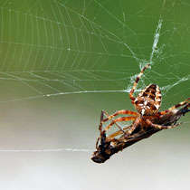 17 Spinne mit Insekt - Foto Borg Enders