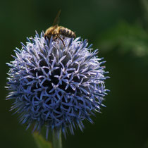 072 Kugeldistel mit Biene   -   Juli_16 - Foto: Willi Heinsohn