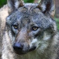 Wolf - Foto: Uta Svensson