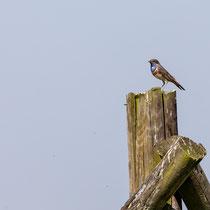 Blaukehlchen, Carl-Zeiss-Vogelstation, Hetlingen - Foto: Pertti Raunto
