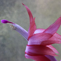 Kaktusblüte - Foto: Volker Svensson