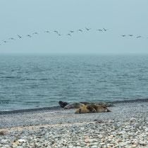 Robben auf Helgoland - Foto: Carla Herrmann