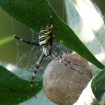 Wespenspinne (Zebraspinne Argiope bruennichi) mit Kokon, Finkenwerder - Foto: Gesine Schwerdtfeger