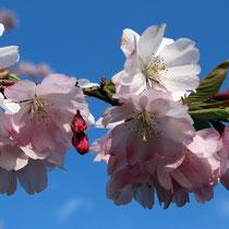 05 Kirschblüte - Foto. Uwe Suckow