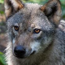 13. Platz 151 Pkt. Wolfsporträt - Foto: Volker Svensson