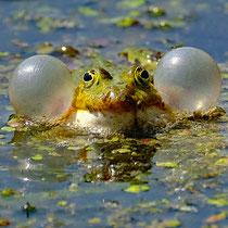 Frosch mit Schwimmhilfe - Foto: Romana Thurz
